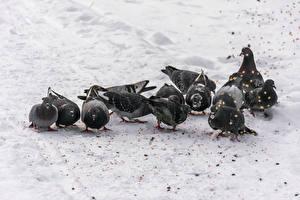Фотографии Птица Голубь Снеге