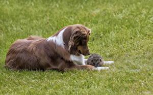 Фото Собаки Ежи Трава Животные