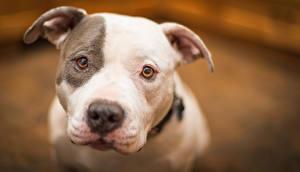 Фотографии Собака Амстафф животное