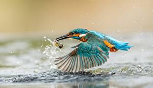 Фотография Птицы Обыкновенный зимородок Вода