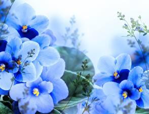 Фотографии Фиалки Голубой Цветы