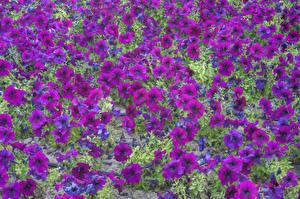 Картинки Петуния Много Фиолетовые цветок