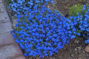 Фото Много Синий Myosotis (незабудки) Цветы