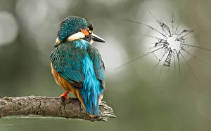 Фото Птицы Обыкновенный зимородок Животные