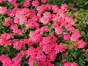 Фото Вербена Много Розовых Цветы