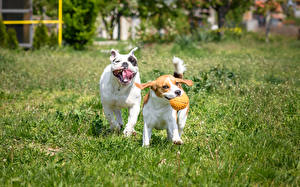 Фото Собаки Трава Бигль Бульдог Вдвоем