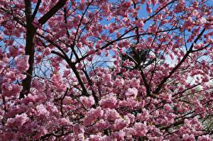 Обои Цветущие деревья Крупным планом Ветки Природа фото