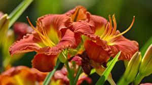 Обои Лилии Крупным планом 2 Цветы