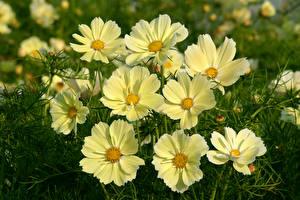 Обои Космея Крупным планом Желтый цветок