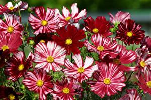 Картинка Космея Вблизи цветок