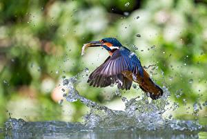 Фото Птицы Обыкновенный зимородок Брызги Капли Животные