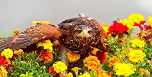 Обои для рабочего стола Бархатцы Ястреб Птица животное Цветы
