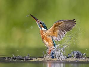Картинка Обыкновенный зимородок Птицы Вода Брызги