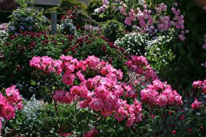 Картинка Великобритания Розы Кусты Розовый Rosemoor Gardens Цветы