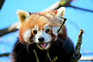 Картинка Малая панда Бамбуковый медведь Ветвь