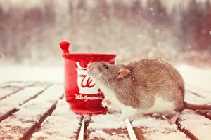 Фото Крысы Грызуны Снег Доски