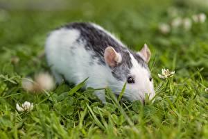 Фотографии Крыса Грызуны Траве животное
