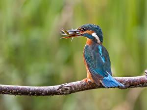 Обои Обыкновенный зимородок Птицы Ветки