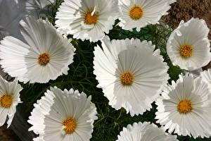 Фото Космея Крупным планом Белый Цветы