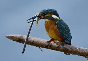 Картинки Обыкновенный зимородок Рыбы Птицы