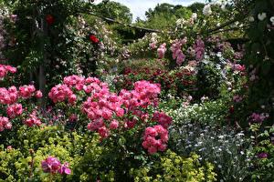 Обои Великобритания Сады Розы Много Кустов Rosemoor Gardens Цветы
