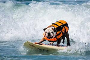 Фотография Серфинг Собаки Волны Животные