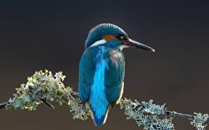 Картинка Обыкновенный зимородок Птицы Ветки