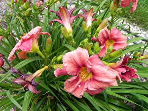 Фотографии Лилии Розовый Цветы