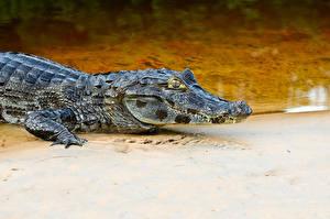 Фотография Крокодил животное