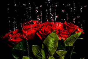 Обои Роза Капли Красный Листья цветок