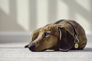 Картинки Собаки Такса