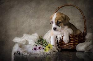 Фотография Собаки Щенок Корзинка Амстафф Животные