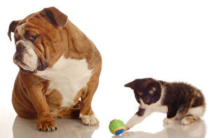 Обои Собаки Кошка Бульдога Котята Двое Мячик животное