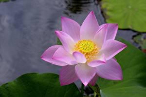 Фото Вблизи Лотос Цветы