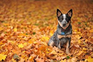 Картинка Собаки Осень Листья Австралийская пастушья Australian Cattle Dog Животные