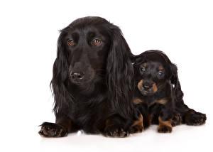 Картинка Собаки Двое Такса Черный Щенок