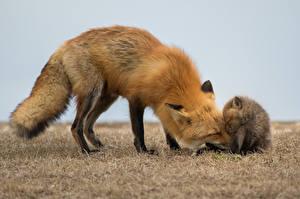 Фото Лисица Детеныши Двое Животные