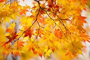 Фотографии Осень Листва Клён Ветки