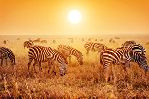 Картинка Зебры Много Поля Рассвет и закат Стадо Животные