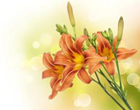 Обои Лилии Крупным планом Бутон Цветы
