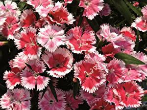 Картинка Гвоздики Крупным планом Розовая Цветы