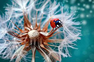 Фото Одуванчики Крупным планом Божьи коровки Макро цветок