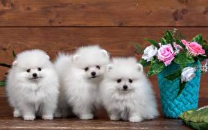 Фотографии Собаки Трое 3 Шпица Белых Щенки Животные