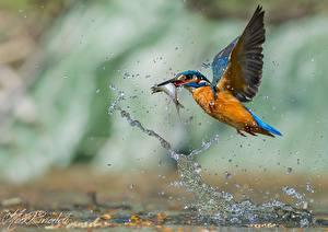 Фото Птицы Обыкновенный зимородок Брызги