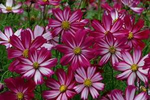 Фотографии Космея Вблизи Цветы