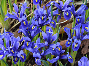 Картинки Ирисы Крупным планом Синий Цветы