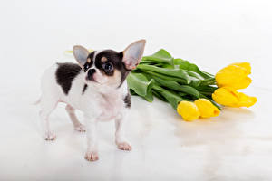 Картинки Тюльпан Собаки Желтая Чихуахуа Животные