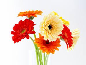 Обои Букеты Герберы Белый фон цветок
