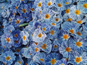 Фотография Первоцвет Много Крупным планом Голубой Zebra Blue Цветы