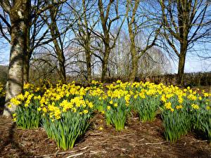 Фотография Великобритания Парк Нарциссы Желтых Деревьев Rosemoor Gardens Природа Цветы